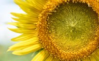 High Resolution Close Up Photo of Sunflower for Desktop Background