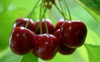 High Resolution Nature Photo of Fresh Red Cherries