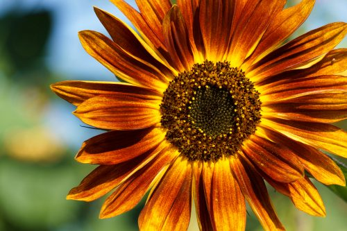Flower Images Free Download with Close Up Sunflower