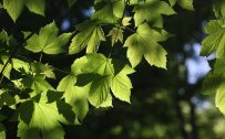 Wallpapers HD For Laptops with Picture Fresh Maple Leaves