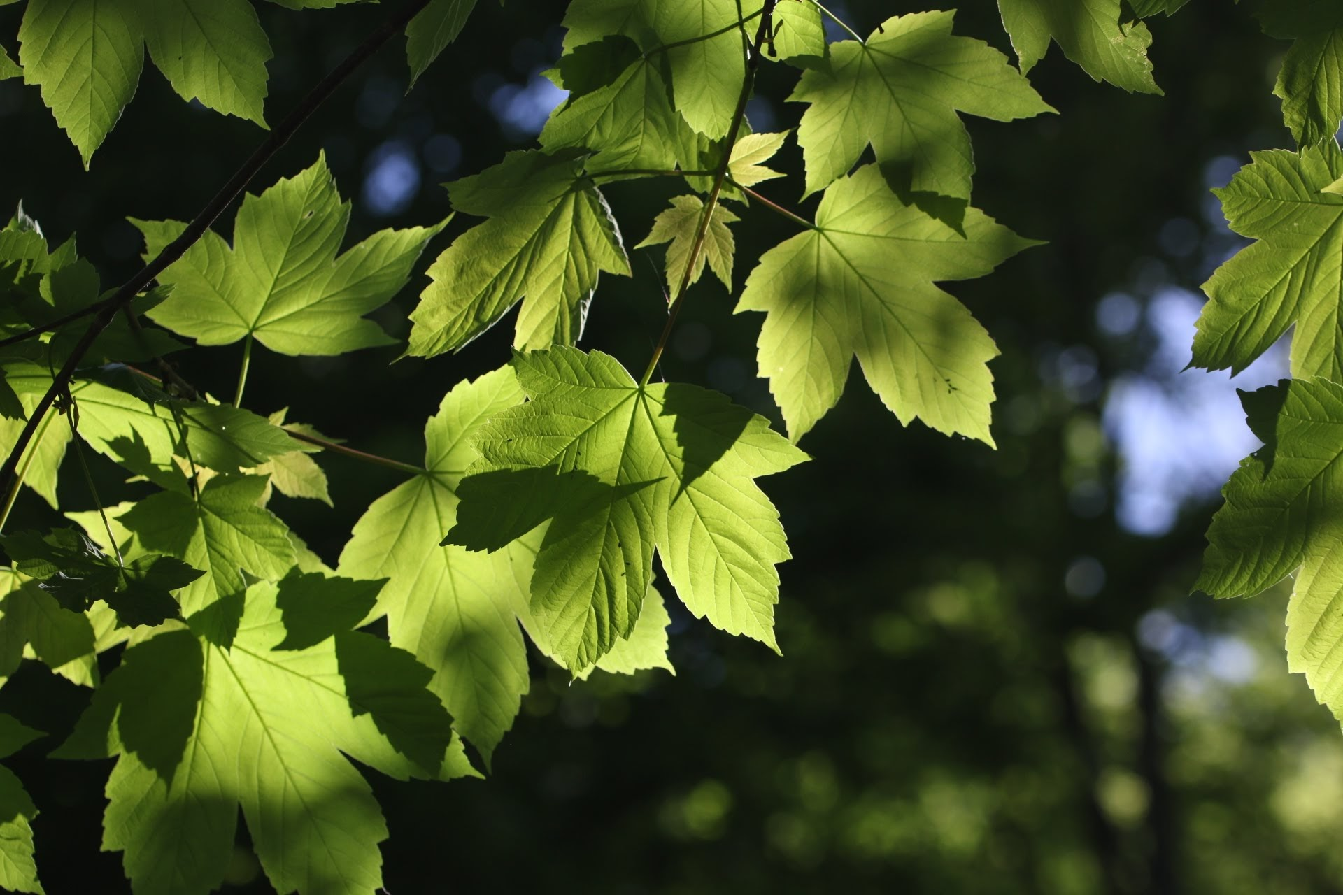 Wallpapers HD For Laptops with Picture Fresh Maple Leaves ...