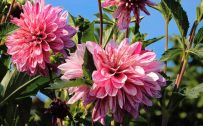 Beautiful Nature Wallpaper with HD Picture of Pink Dahlia Flowers in Garden