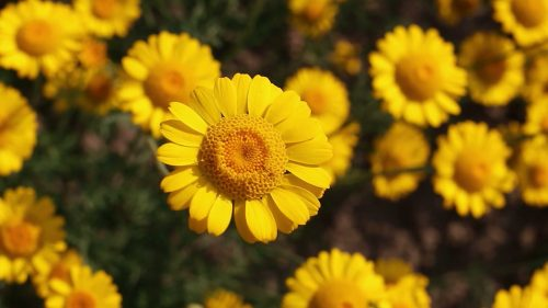 Yellow Daisy Flower Images as Best HD Wallpapers for Laptop 1080p