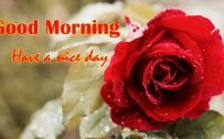 Red roses with water drops images for Good Morning Wallpaper