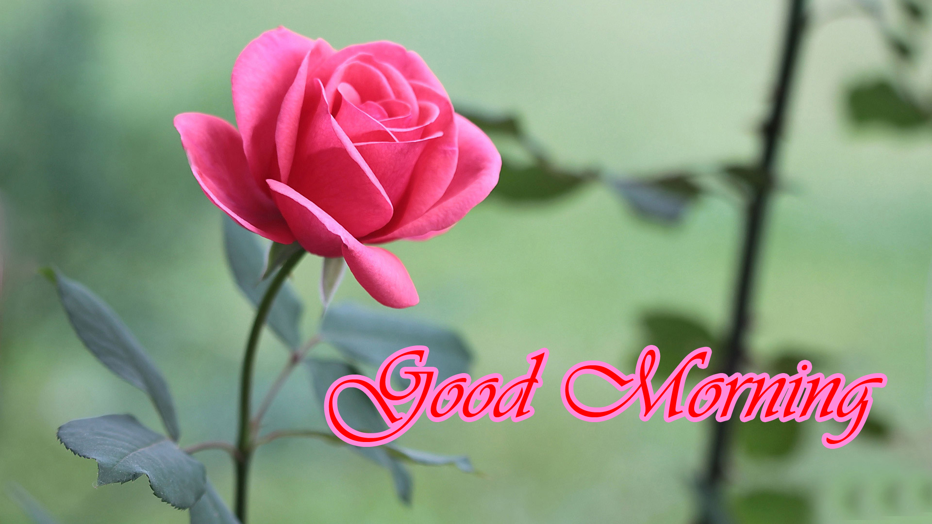 Romantic Good Morning Images with Picture of Rose Flower ...