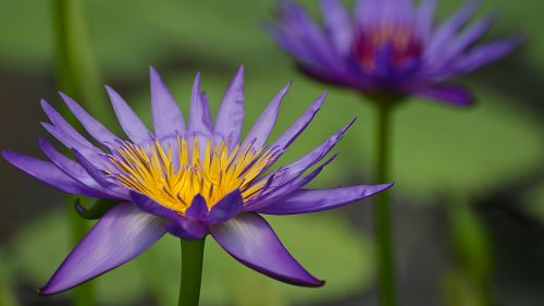HD Flower Wallpapers 1080p with Blue Flowered Water Lily