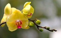 HD Flower Wallpapers 1080p with Yellow Orchid