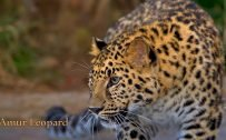 Picture of Endangered Animals with Names - Amur Leopard