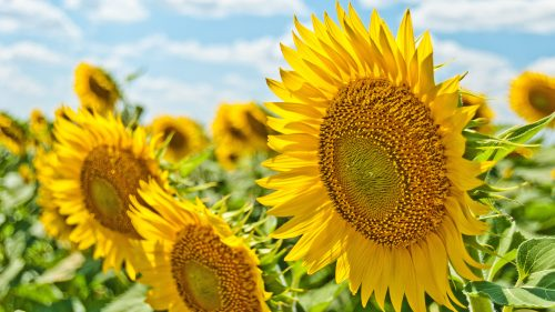4K Picture of Sunflower During Summer Daytime