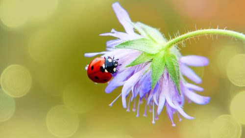Beautiful Nature Wallpaper Big Size #34 – 4K Picture of Ladybug and Flower