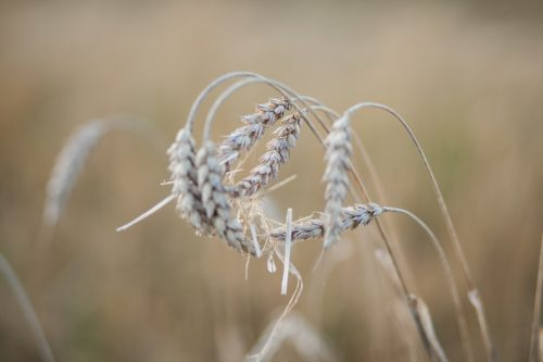 Selective Focused Picture of Wheat in Summer