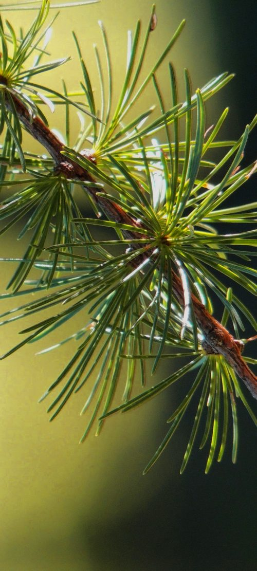 10 Alternative Wallpapers for Oppo Reno4 Pro 5G with Nature Image - 09 - Spruce Branch