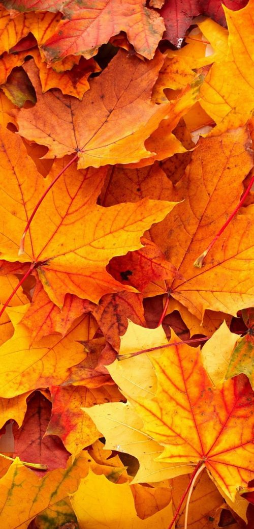 10 Best Wallpapers for Huawei Mate 40 Pro 06 - Autumn Leaves in Close-Up
