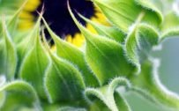 10 Best Alternative Wallpapers for Realme 7 5G 07 - Close-Up Sunflower Photo