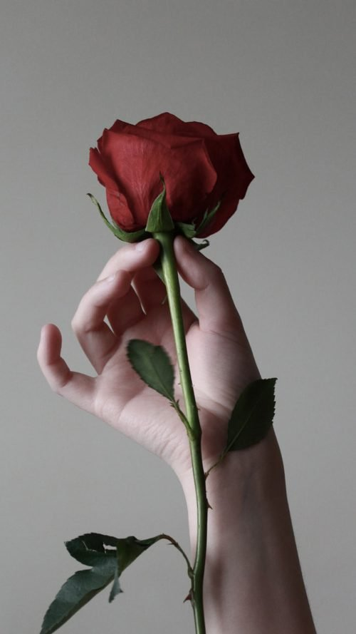 Close Up Photo of Rose Flower in Hand for Smartphone Wallpaper