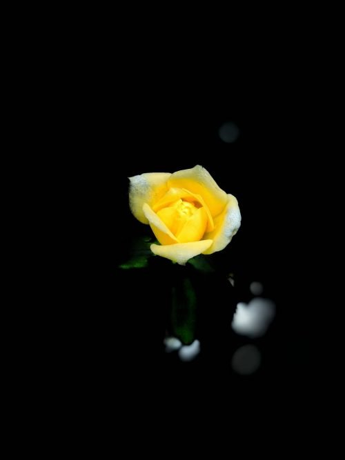 Close-Up Photo of Yellow Rose Flower with Dark Background for Smartphone
