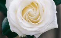 High Resolution Picture of White Rose Flower for Smartphone Home Screen Wallpaper